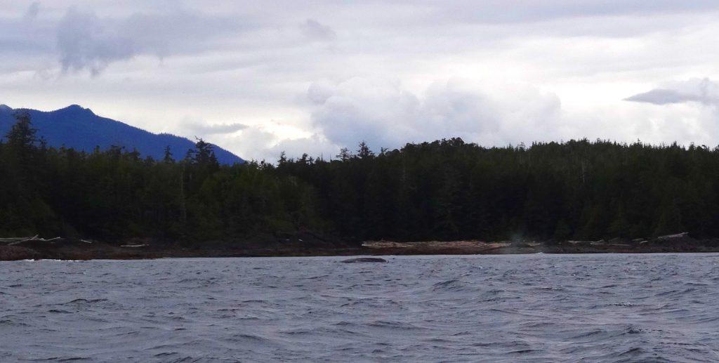 Excursion Baleine Tofino Ile de Vancouver - la tache sombre dans l'eau c'est une baleine grise !