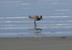Oiseau sur la plage de Long Beach, la Bécassine