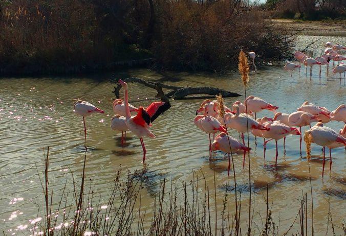 Flamant rose qui ouvre ses ailes - Camargue